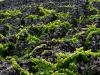vignes-et-murs-de-madalena-26aout13-img_9474-copy